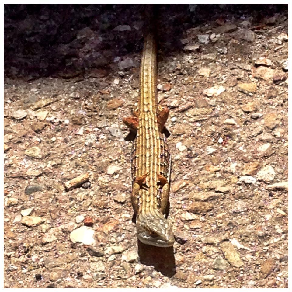 Yogi Lizard